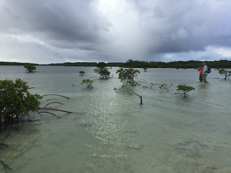 A few mangrove trees straggle out into the sea on Ouvea Island, New Caledonia. Photo by Ruth Reef.