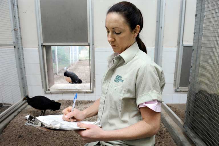 Alana O'Sullivan takes note of breeding cues by a captive maleo pair at the Bronx Zoo in New York. Photo by Julie Larsen Maher, WCS