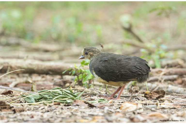 A newly-hatched maleo chick find its own way to the forest in Bogani Nani Wartabone National Park. Photo by Iwan Hunowu, WCS Indonesia
