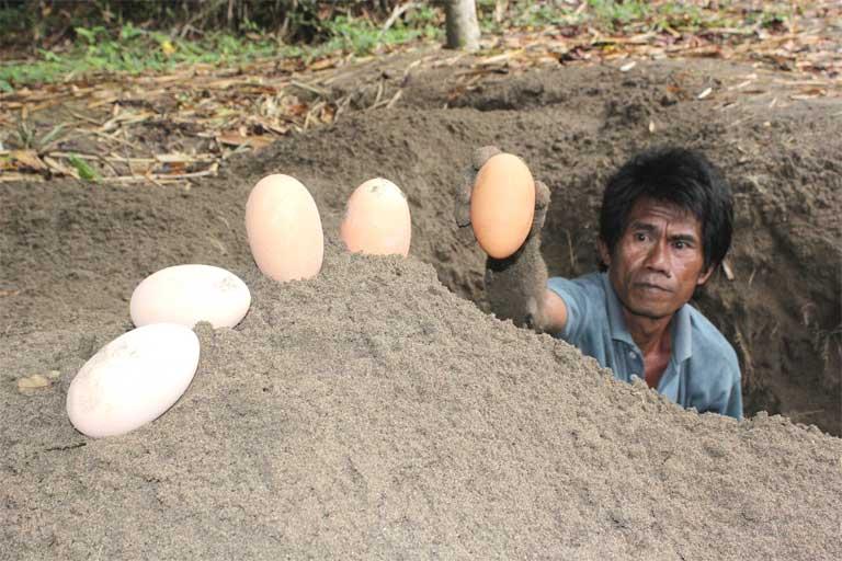 Tomo Lomamai, a nest guardian at Bogani Nani Wartabone National Park, removes maleo eggs for incubation at a semi-natural hatchery. Photo by Iwan Hunowu, WCS Indonesia