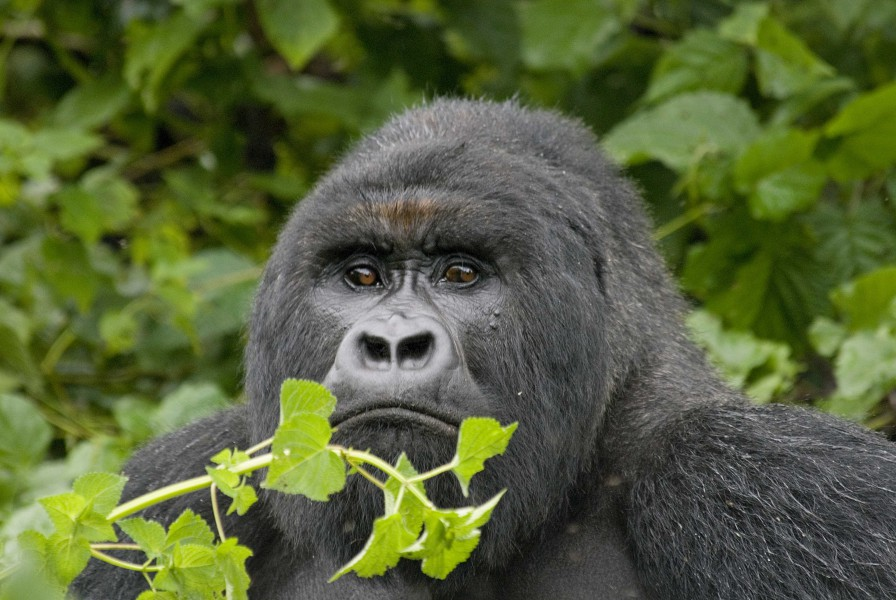 Mountain gorilla in Virunga National Park, which is slated to get downsized to allow oil exploration. Photo courtesy of Conservation International/John Martin.