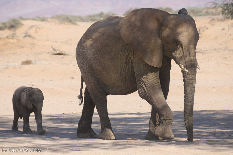Desert elephants in Damaraland Namibia, South Africa. Photo by Rhett Butler.