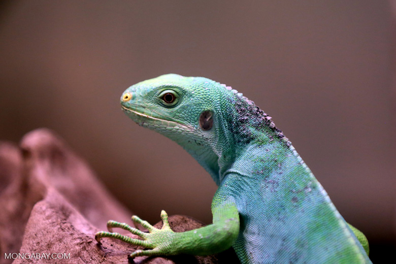 A Female Fiji Iguana. Fiji is one of the Pacific island nations requesting future help for climate change consequences. Photo by Rhett Butler.