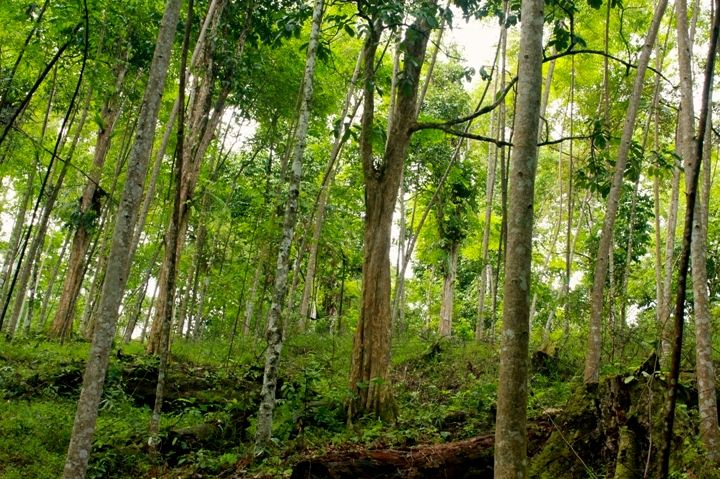 A grove of young damar trees in Pahmungan. Photo by Taufik Wijaya