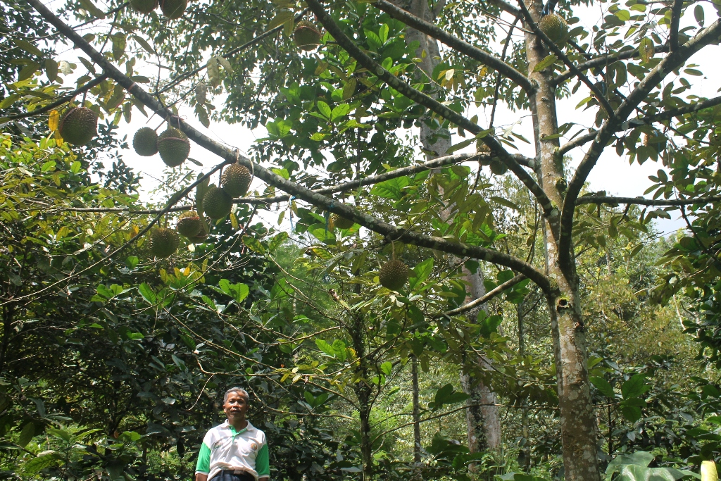 Wagisan with durian tree