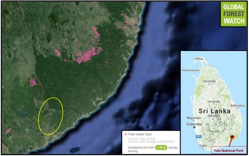 Yala National Park - together with other protected areas - contain a large swath of forest an otherwise largely denuded landscape. Deforestation is actively occurring outside its borders, with Global Forest Watch showing heavy tree loss between 2001 and 2014. Amerawewa Forest (circled in yellow) contains relatively untouched forest, compared to areas to the northeast.