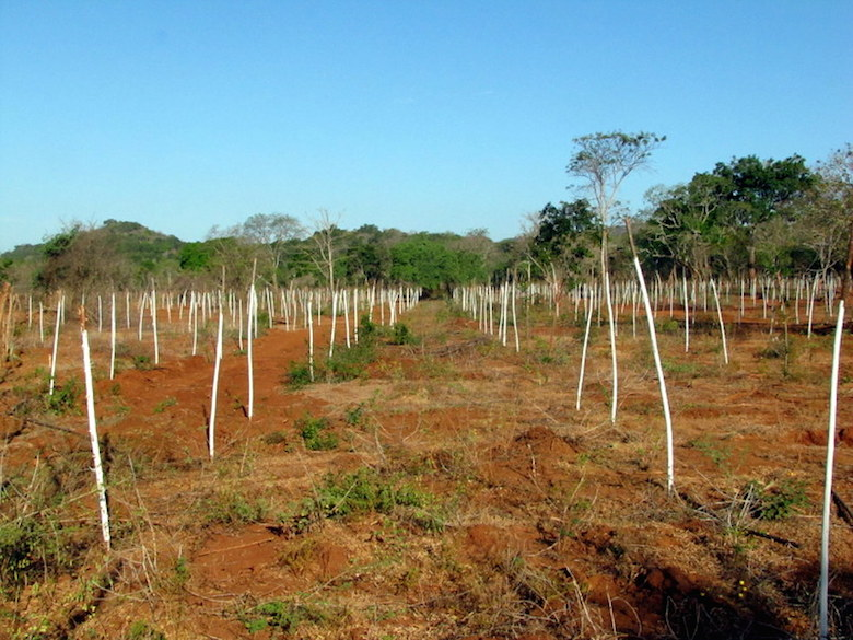 A plantation in Amarawewa, near Yala National Park, where gliricidia were planted for biofuel production. Photo courtesy of Environmental Foundation Limited.