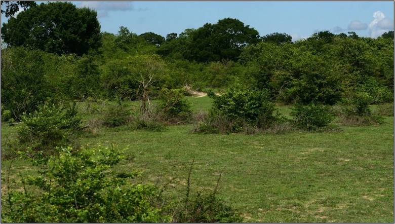 Natural Amerawewa habitat. Photo courtesy of Environmental Foundation Limited