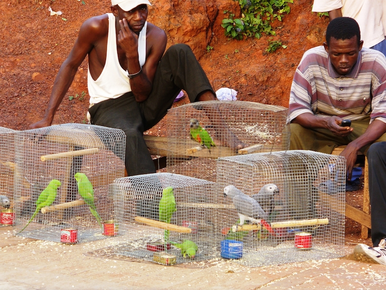 Ghana parrots being sold for pets. Photo by Nicole Arcilla.