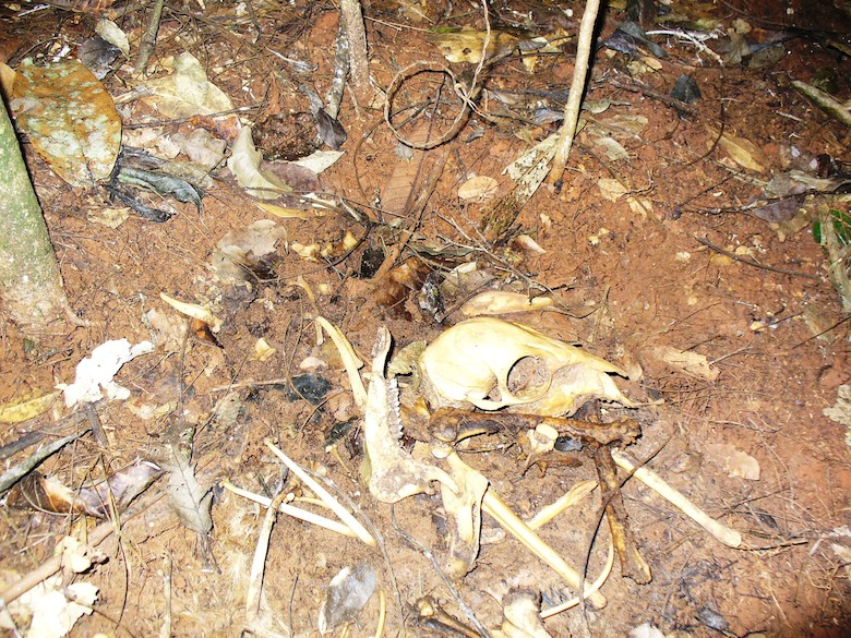 """""""Ghana's forests are full of illegal wire snare traps that are deadly and often go unchecked -- an example here is a skeleton of a duiker (forest antelope) whose leg was caught in a trap that was never checked. It died needlessly and tragically. Although this practice is illegal the law is almost never enforced and one trapper can set hundreds of these traps at a time -- we saw them in every forest in which we worked."""" -- Nicole Arcilla."""