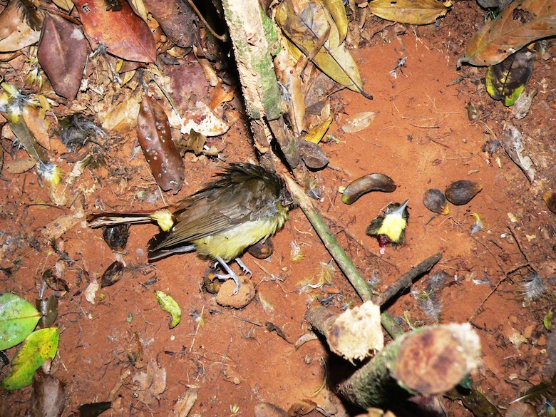 Decapitated bird in an illegal wire snare trap Cape Three Points Forest Reserve. Photo by Nicole Arcilla.