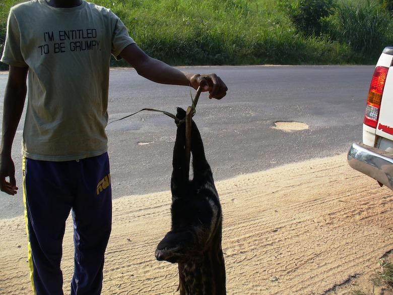 Poached African civet (Civettictis civetta). Photo by Nicole Arcilla.