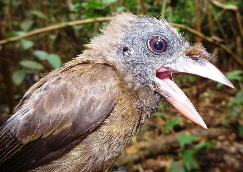 Bristle-nosed barbet (Gymnobucco peli). Photo by Nicole Arcilla.