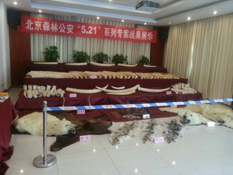 Beijing Forest Police confiscated around 1,700 pounds of ivory. Photo courtesy of TRAFFIC.