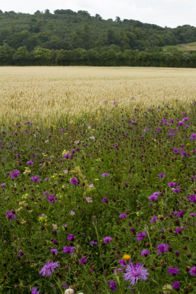 Creation of wildflower habitats on small areas of less productive land at the field edge to attract crop pollinators. Photo by Heather Lowther, CEH.