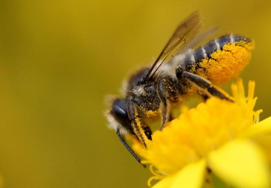 A leafcutter bee, one of the species benefiting from wildlife-friendly farming.  Photo by  Brigit Strawbridge.
