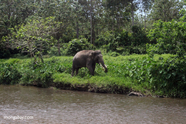 Sumatran elephant in North Sumatra Indonesia. Photo by Rhett Butler.
