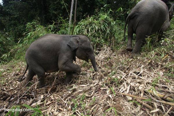 Sumatran elephants in Bukit Barisan Selatan National Park. Photo by Rhett Butler.
