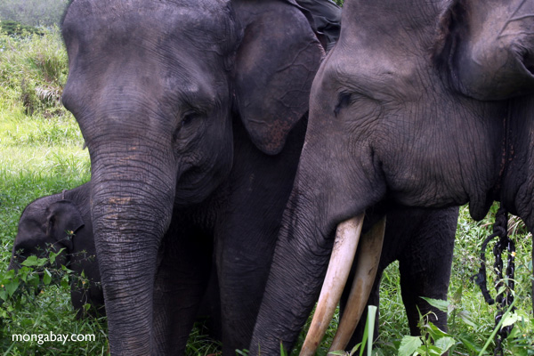 Sumatran elephants, photo by Rhett Butler.