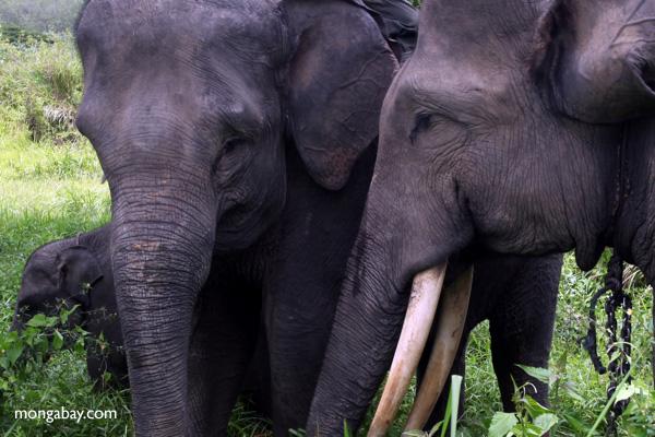 Sumatran elephants, photo by Rhett Butler.