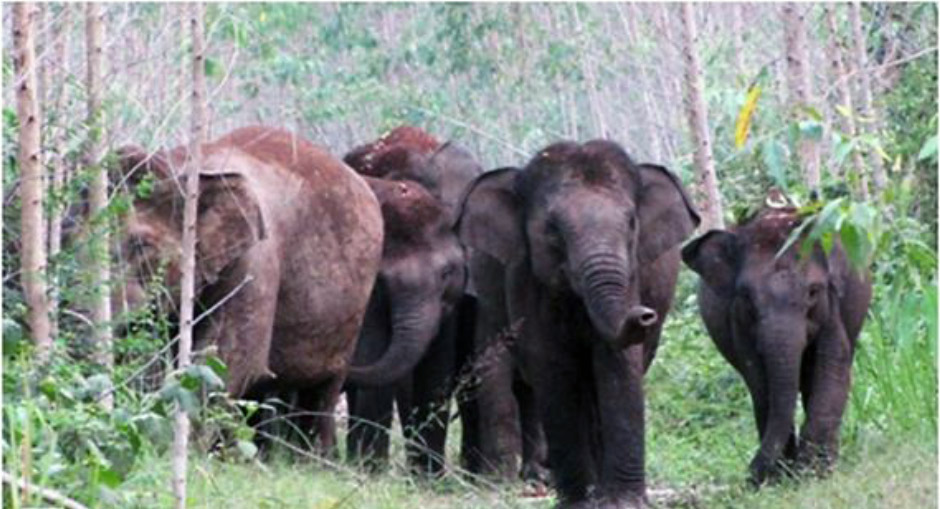 A group of Sumatran elephants searches for food in a pulpwood concession in the RiauJambi survey area of Bukit Tigapuluh. Photo by Frankfurt Zoological Society / Alexander Moßbrucker & Albert Tetanus.
