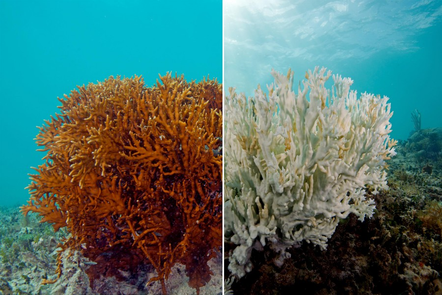 A fire coral before and after bleaching. The one on the left is a healthy fire coral, while the one on the right is completely bleached. Photo by the XL Catlin Seaview Survey.