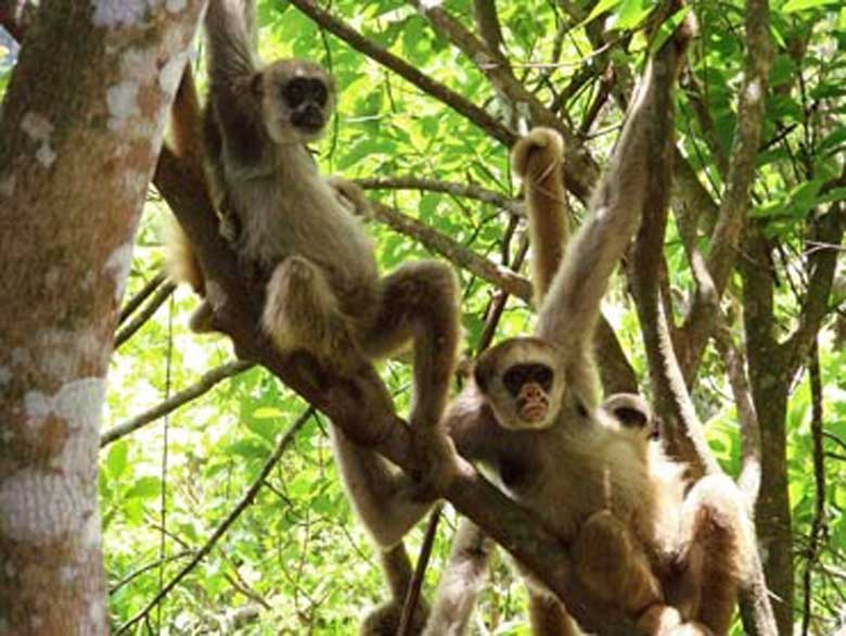Northern muriqui monkeys from the wild population in RPPN Feliciano Miguel Abdala, previously known as the Estação Biológica de Caratinga. This privately owned ranch is the site of the longest-running large mammal research project in Brazil, led by University of Wisconsin-Madison anthropologist Karen Strier for 33 years. Photo courtesy of Carla B. Possamai/Universidade Federal de Espirito Santo