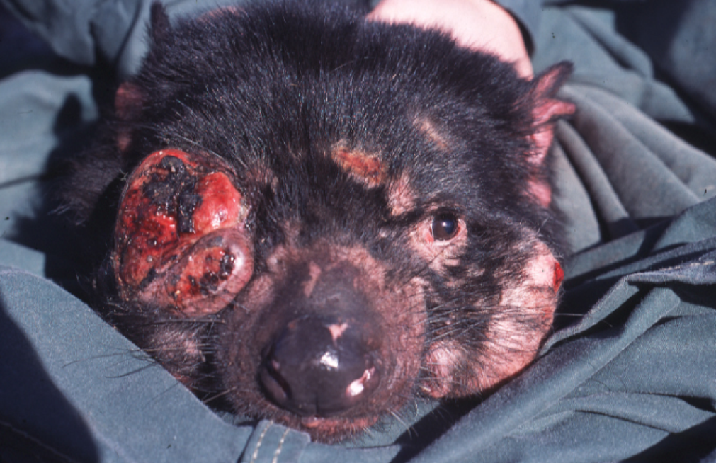 Devil facial tumour disease causes tumours to form in and around the mouth, interfering with feeding and eventually leading to death by starvation. Photo by Menna Jones, Wikimedia Commons.