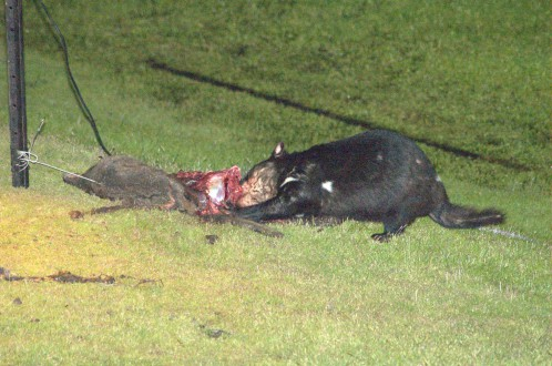 Tasmanian devil eating a wallaby killed by a car  in Narawntapu National Park, Tasmania, in December 2005. Photo by PanBK, Wikimedia Commons.