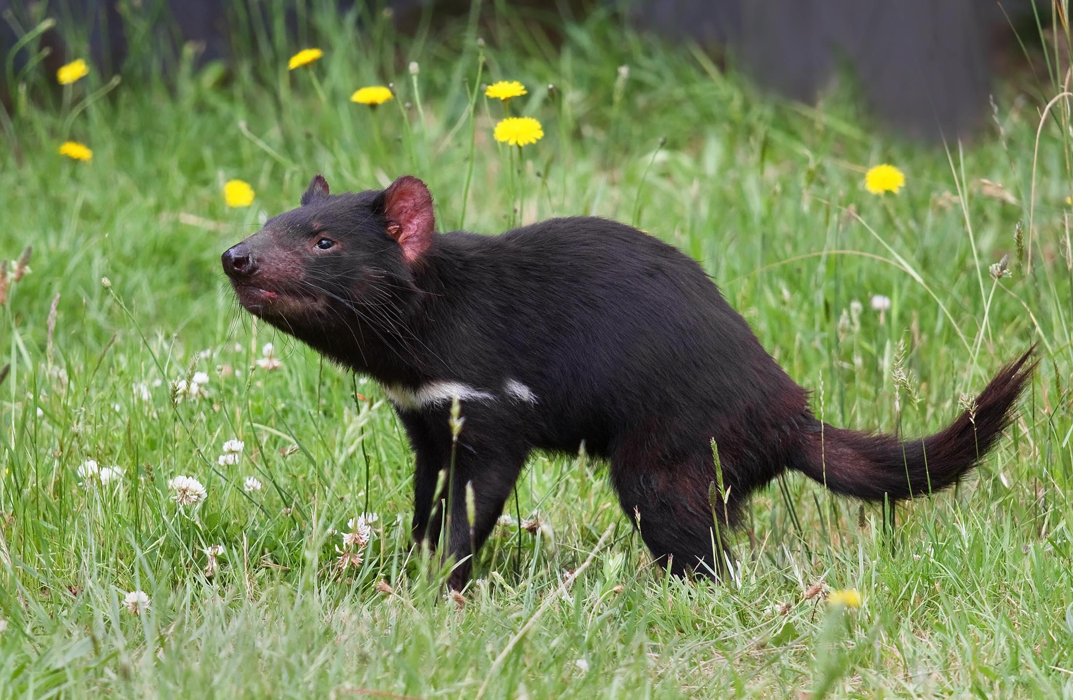 Tasmanian devil (Sarcophilus harrisii). Photo by JJ Harrison, Wikimedia Commons.