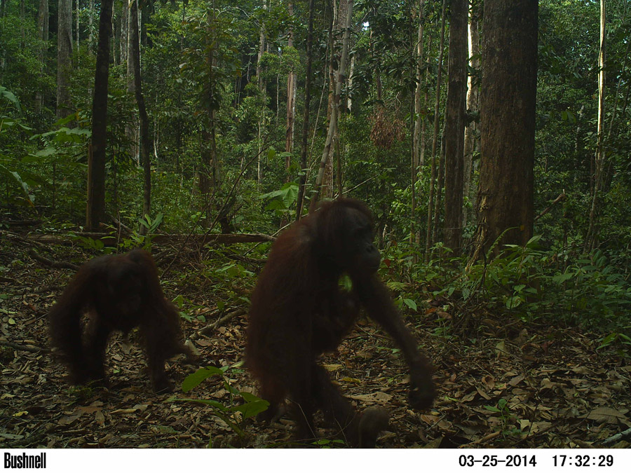 Females with very young babies clinging to their bodies were also found on the ground, adding to camera trapping results. Photo by Brent Loken