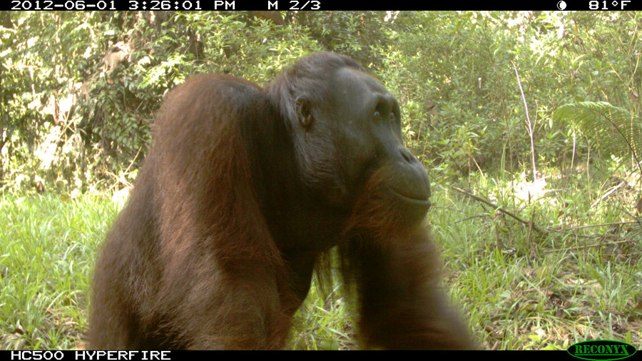 Orangutans have individually recognizable faces that make the use of camera traps possible for estimating density. Photo by Brent Loken