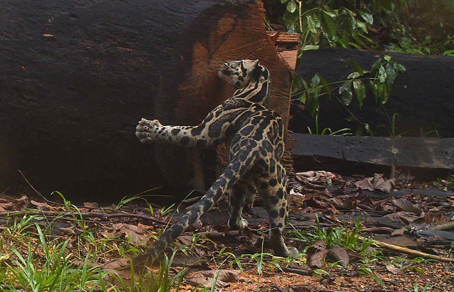 Camera traps allow researchers to photograph and study species such as this Sunda clouded leopard . Photo by Brent Loken