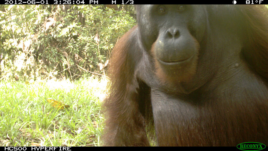 Curious orangutans often approach the camera for a closer look. Photo by Brent Loken