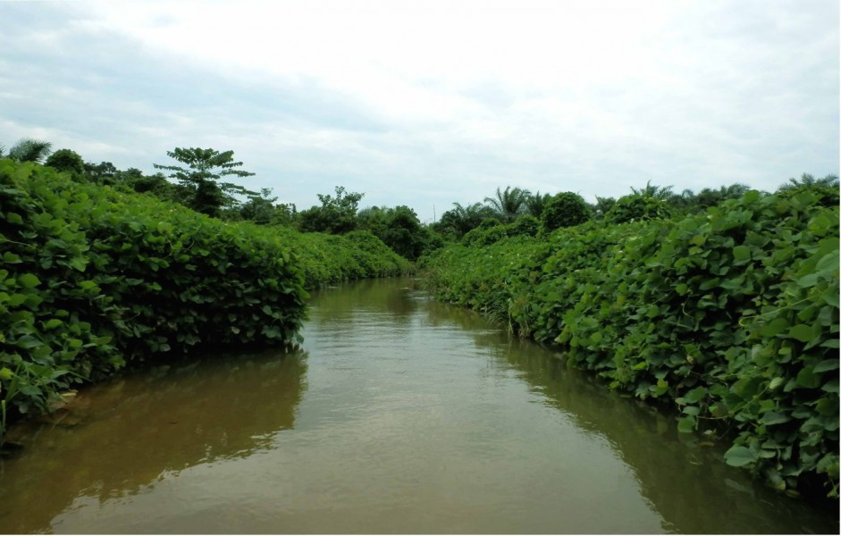 Stream straddled by oil palm on either side reduce fish diversity. Photo by Daisy Wowor.