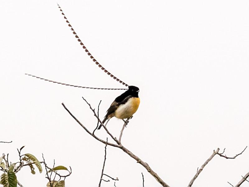 Kumul Lodge, Mt Hagen, Western Highlands Province, Papua New Guinea. Male. New Guinea endemic Bird-of-Paradise.