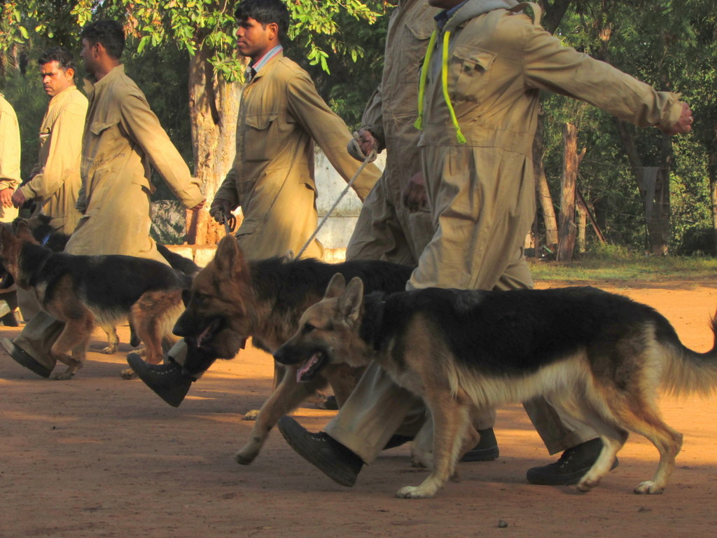 Sniffer dogs during training. TRAFFIC India has trained 25 sniffer dogs and their handlers since 2008, including a new batch of 14 dogs that graduated in June. Photo by Shaleen Attre/TRAFFIC.