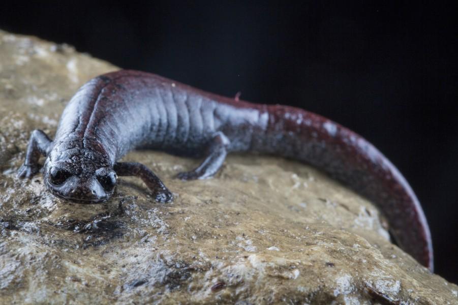 Finca Chiblac salamander. Photo by Robin Moore.
