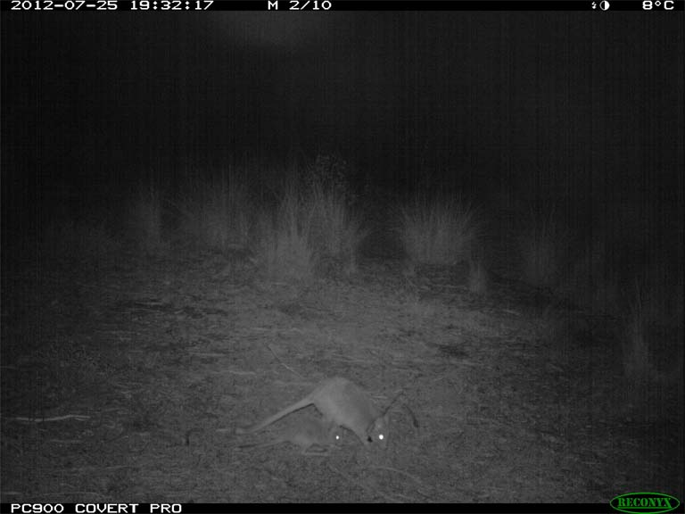 A game camera catches a bettong on night maneuvers. One reason these animals haven't caught on in the public imagination is their nocturnal lifestyle. People rarely see them, so more visible megafauna have gotten most of the conservation attention and dollars — until now. Photo by Adrian Manning.