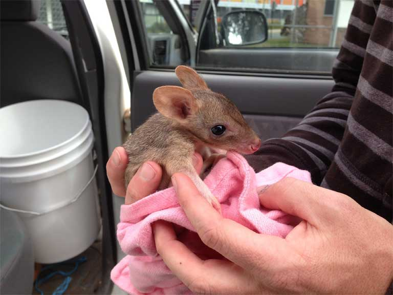 Baby bettong. Photo by Adrian Manning.