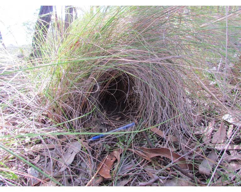 A typical bettong nest. Photo by Helen Crisp.
