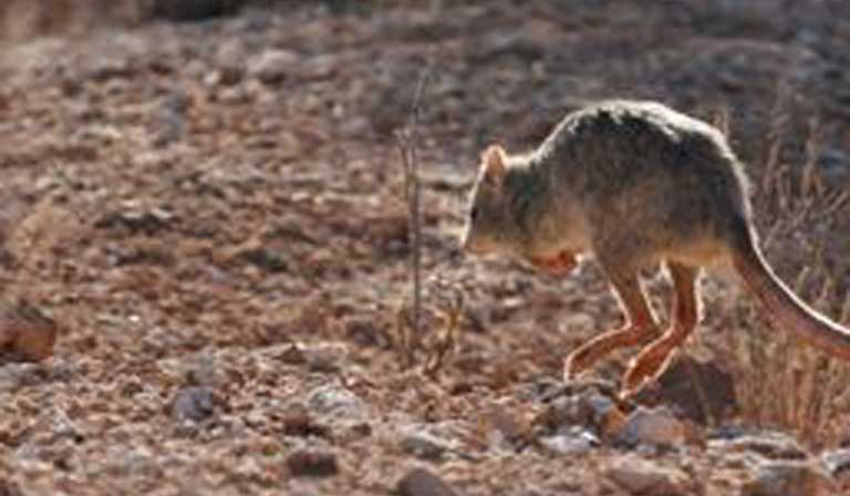A Burrowing bettong on the bound. Photo by Judy Dunlop Courtesy Australian Parks & Wildlife.