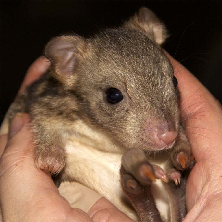 A young bettong outside its mother's pouch. Photo by Judy Dunlop Courtesy Australian Parks & Wildlife.