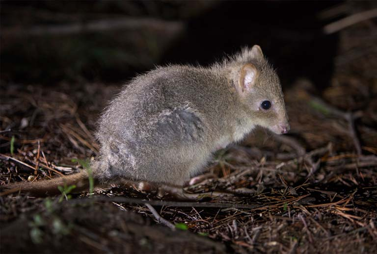 A juvenile Eastern bettong. Photo by Adam McGrath courtesy of Woodland and Wetlands Trust.