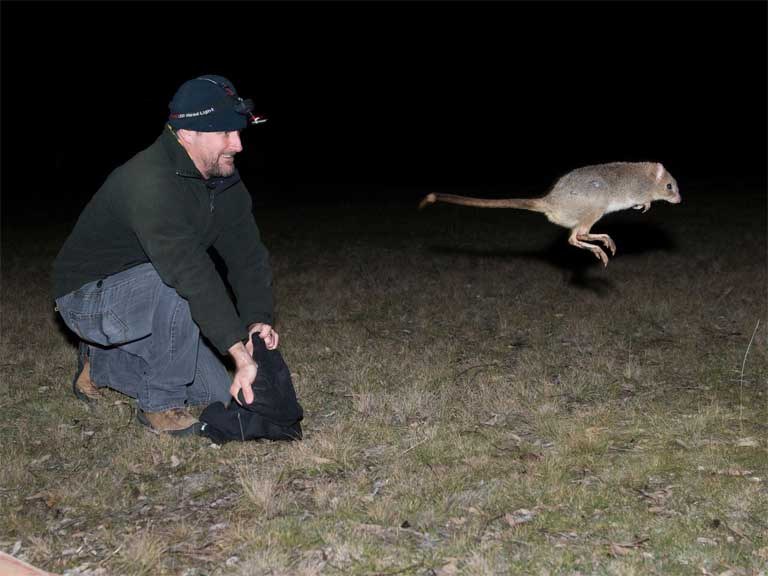 A just released bettong takes to the air. Photo by Stephen Corey.