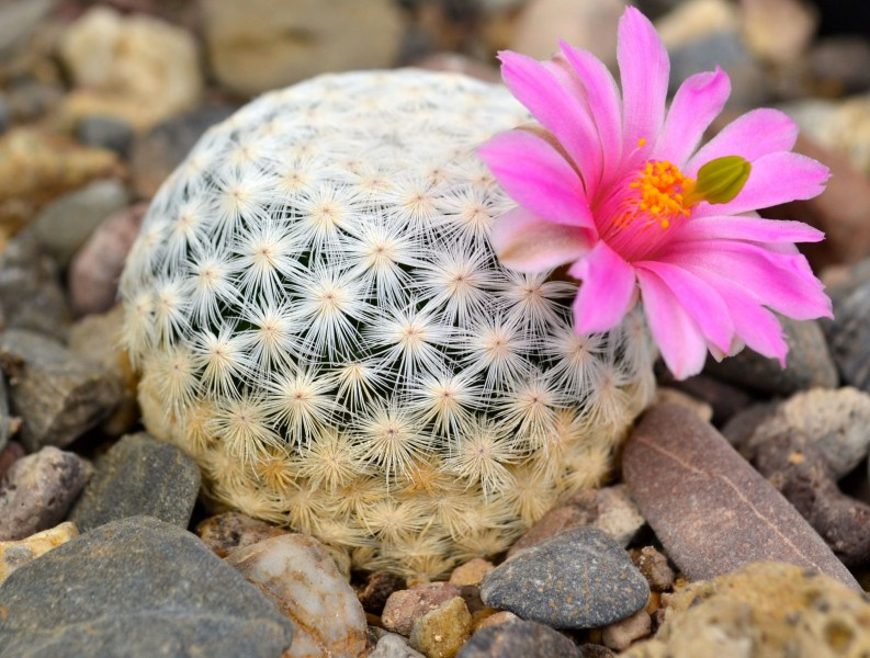 Illegal collection threatens the golf ball cactus with extinction. Photo by Jardín Botánico Regional de Cadereyta.