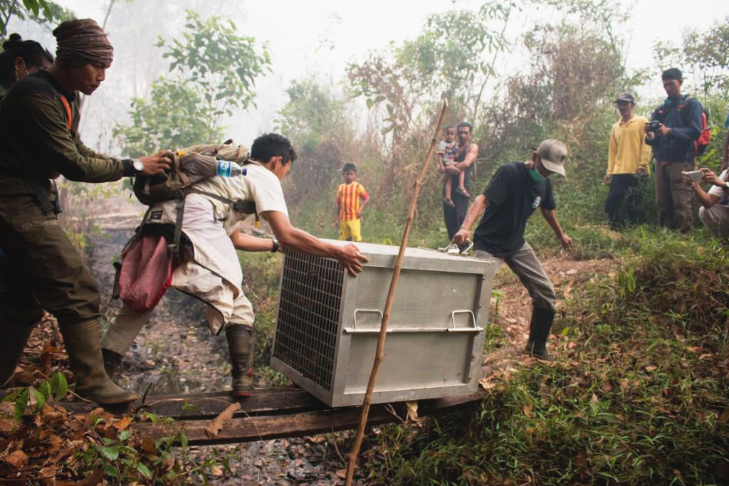 Orangutans were evacuated recently from a burning area adjacent to KAL's concession. Photo courtesy of International Animal Rescue