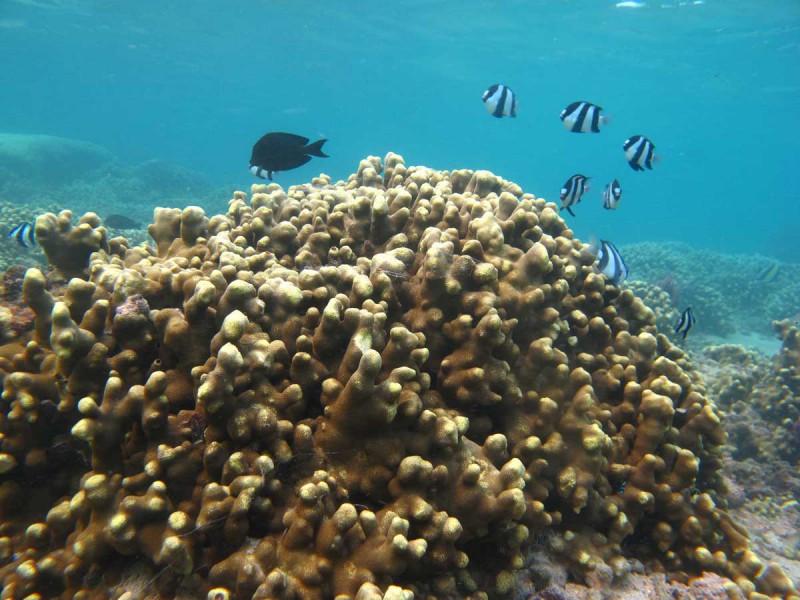 Yellow finger coral (Porites cylindrica). Photo by Philippe Bourjon, Wikimedia Commons.