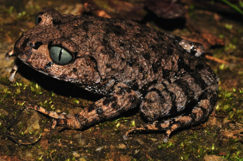 "Bompu Litter Frog (Leptobrachium bompu), a ""strikingly blue-eyed"" new species discovered in Arunachal Pradesh, India and described by Sanjay Sondhi of the Titli Trust and Annemarie Ohler of the Muséum National d'Histoire Naturelle in Paris. Photo © Sanjay Sondhi"