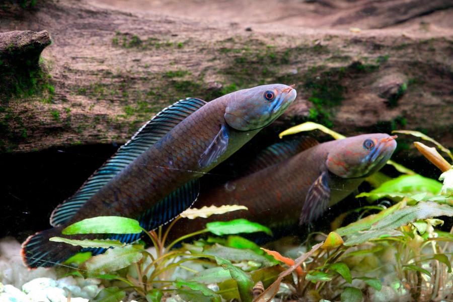 Vibrant blue walking snakehead fish© Henning Strack Hansen